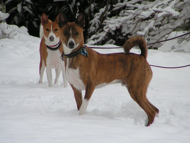 Five Things I Learned from My Basenjis