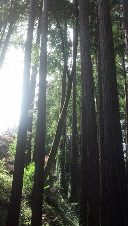 Blog Post 50 Mount Hermon Redwoods